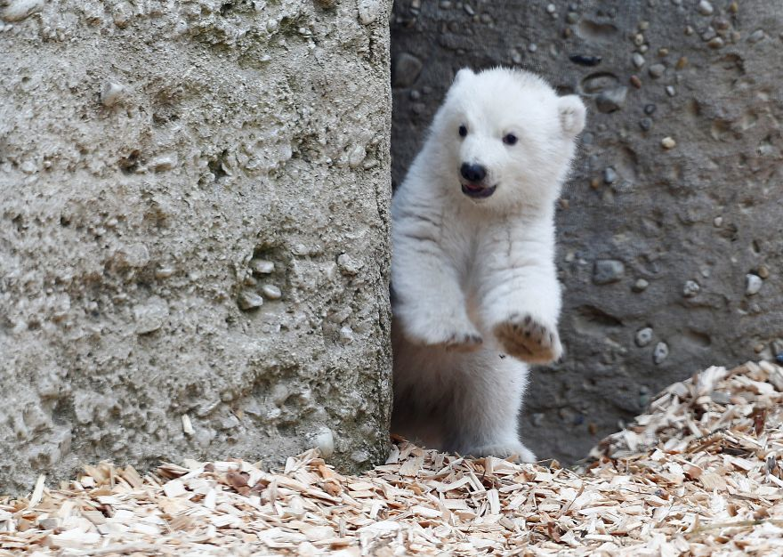 据美国Boredpanda网站报道,这只可爱的小北极熊才仅仅两周大,但是即便如此,现在的它已经镜头感十足了。据了解,上周有游客在德国的Hellabrunn动物园拍到了这样一幕,可爱的小家伙在岩石上冲着镜头摆pose,并且看起来对周围的环境没有丝毫的胆怯。这只可爱的小北极熊的妈妈名为Giovanna,3年前她曾在这家动物园内生下了一对双胞胎北极熊,分别名为Nela和Nobby,但是在2016年时,这两个北极熊都被迫搬离了这家动物园。现在北极熊妈妈Giovanna所有的爱都给了这个新诞生的小家伙。而管理员们则还没来得及给它起名字。图为北极熊妈妈Giovanna和它的宝宝。